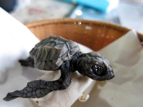 ウミガメの赤ちゃんのミイラ